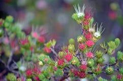 Australischer Eingeborener gruppierte Geruch-Myrte-Blumen lizenzfreies stockfoto