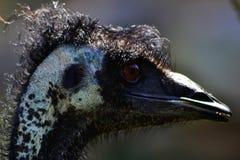 Australischer Emu stockfotos
