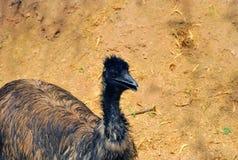 Australischer Emu Stockfotografie