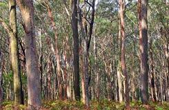 Australischer Eukalyptus-Wald Stockbild