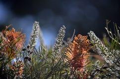 Australischer gebürtiger gGrevillea Gartenhintergrund lizenzfreie stockbilder