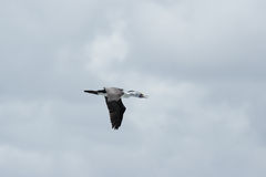 Australischer gescheckter Kormoran (Phalacrocorax varius) Lizenzfreies Stockfoto