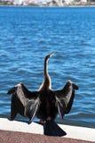 Australischer gescheckter Kormoran in Schwan-Fluss stockfotos