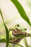 Australischer grüner Baum-Frosch Lizenzfreie Stockbilder