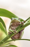 Australischer grüner Baum-Frosch Stockfotos