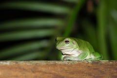 Australischer grüner Baum-Frosch auf Plattform im Regenwald Lizenzfreie Stockbilder