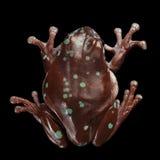 Australischer grüner Baumfrosch oder Litoria-caerulea Schwarzhintergrund Stockfotografie