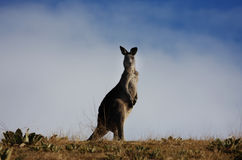 Australischer grauer Känguru lizenzfreies stockbild