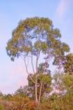 australischer Gummibaum während des Sonnenuntergangs, Perth Australien stockbild