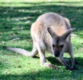 Australischer Känguru lizenzfreies stockfoto