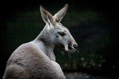 Australischer Känguru Headshot auf schwarzem Hintergrund lizenzfreies stockbild