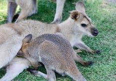 Australischer Känguru mit Joey im Beutel lizenzfreie stockfotos