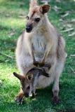 Australischer Känguru mit Joey im Beutel lizenzfreies stockbild