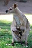 Australischer Känguru mit Joey im Beutel stockbild