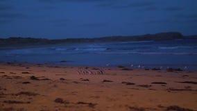 Australischer kleiner Pinguin, der vom Meer, gehend in Linie auf dem Sandstrand zurückgeht stock video footage