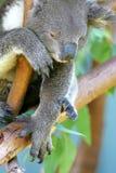 Australischer Koala Lizenzfreies Stockfoto