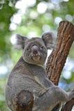 Australischer Koala, der auf einer Niederlassung betrachtet Zuschauer sitzt Lizenzfreie Stockfotografie