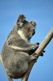 Australischer Koala, der in einem Eukalyptus sitzt Stockbilder