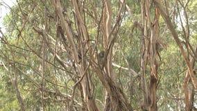 Australischer Koalabär stock footage