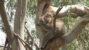 Australischer Koalabär stock video footage