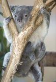 Australischer Koalabär mit ihrem Schätzchen joey auf Bauch lizenzfreie stockbilder