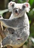 Australischer Koalabär mit nettem Schätzchen Australien lizenzfreies stockfoto