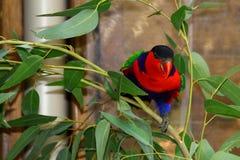 Australischer Lory (rot) Lizenzfreie Stockfotos