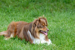 Australischer Minischäferhund Stockfotografie