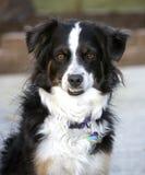Australischer Minischäferhund, der untere Zähne zeigt Stockbild