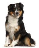 Australischer Minischäferhund, 2 Jahre alt Stockbild