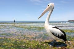 Australischer Pelikan stockfotos
