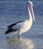 Australischer Pelikan stockbilder