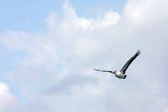 Australischer Pelikan lizenzfreie stockbilder