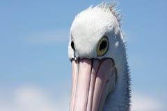 Australischer Pelikan lizenzfreies stockfoto