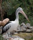 Australischer Pelikan in Adelaide Lizenzfreie Stockfotografie