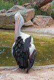 Australischer Pelikan in Adelaide Stockfotos