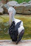 Australischer Pelikan in Adelaide Lizenzfreies Stockbild