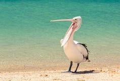 Australischer Pelikan - Affe Mia stockbild