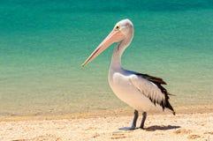 Australischer Pelikan - Affe Mia lizenzfreie stockbilder