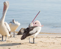 Australischer Pelikan, Coral Sea, Steinhaufen, QLD, Australien Lizenzfreie Stockbilder