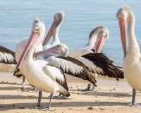 Australischer Pelikan, Coral Sea, Steinhaufen, QLD, Australien Lizenzfreie Stockfotografie