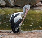 Australischer Pelikan, der in Adelaide sich putzt Lizenzfreies Stockbild