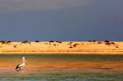 Australischer Pelikan ganz allein Stockbilder