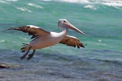 Australischer Pelikan (Pelecanus conspicillatus) Lizenzfreies Stockfoto