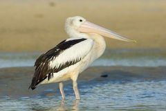 Australischer Pelikan (Pelecanus conspicillatus) Lizenzfreies Stockbild