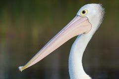 Australischer Pelikan (Pelecanus conspicillatus) Stockbilder