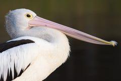 Australischer Pelikan (Pelecanus conspicillatus) Lizenzfreie Stockfotografie