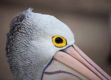 Australischer Pelikan, Pelecanus conspicillatus, Nahaufnahmeporträt mit gelbem Auge australien stockfotografie