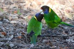 Australischer ringneck Papagei Stockfotos