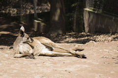 Australischer roter Känguru Stockfotos
